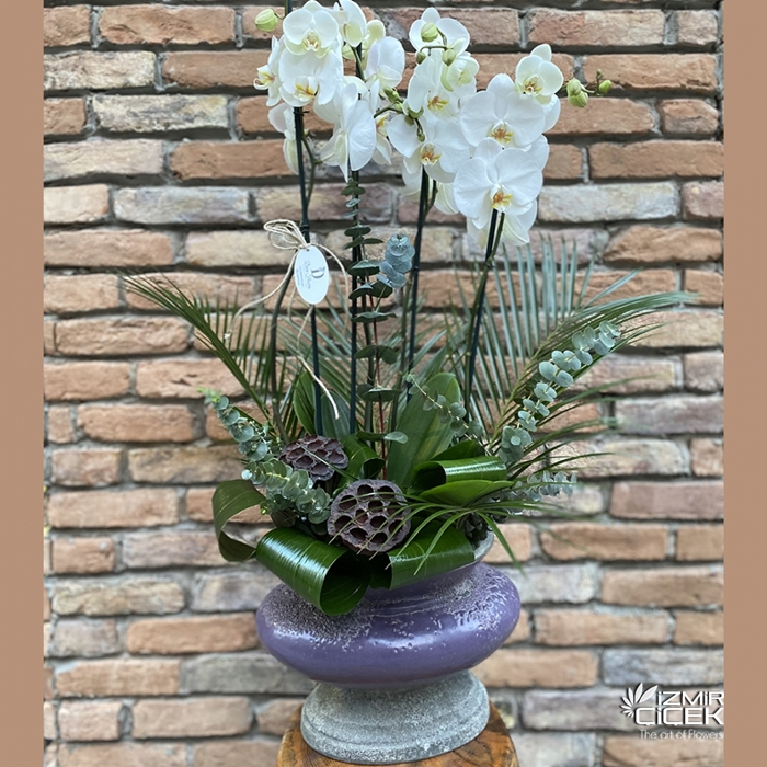Bol Tomurcuklu Bonito Orkide