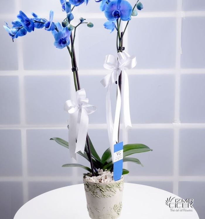 İthal Mavi Orkide