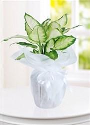 difenbafya saksı çiçeği