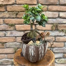 Dekoratif Bonsai Ginseng