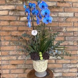 Exclusive Mavi Orkide