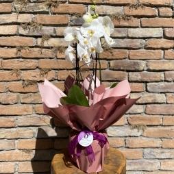 Bol Çiçekli Jumbo Orkide