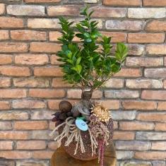 Ficus Bonsai Tasarım