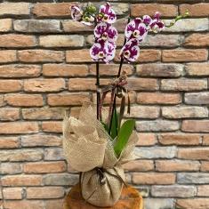 Benekli Orkide
