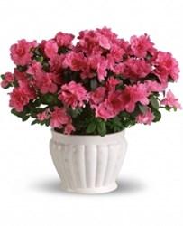 Açelya Saksı Çiçeği