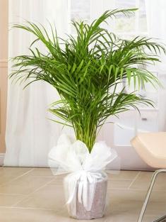 Areka Saksı Çiçeği