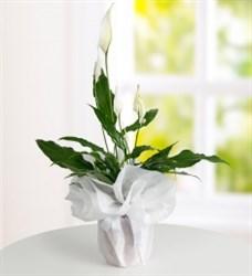 Barış Çiçeği ( Spatifilium )