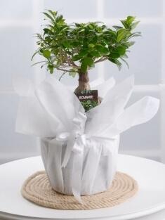 İthal Bonsai
