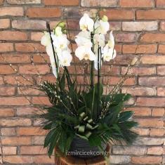İthal Orkide Tasarım